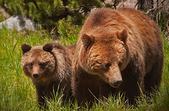 ANS-Moma Grizzly & cub (And sail on the steel breeze) Tags: park cute nature animals fauna outdoors cub eyes furry eyecontact wildlife bears ngc ears npc yellowstone nationalparks motherandchild motherandcub grizzlybears grizzlys grizzlybeas