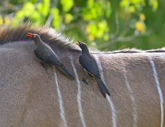 _RDD6603 (wanderflechten) Tags: botswana redbilledoxpecker tragelaphusstrepsiceros buphaguserythrorhynchus