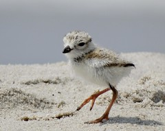 Cute Piping Plover Chick (KoolPix) Tags: baby cute bird beach nature animal sand legs beak chick babybird pipingplover nationalgeographic naturephotography naturephotos amazingnature rarebird jayd naturephotographer endangeredbird amazingwildlife fantasticnature pipingploverchick animalphotographer jonesbeachny koolpix jdiaz fantasticwildlife jaydiaz jaydiaznaturephotographer dailynaturetnc13 wcswebsite photocontesttnc14 dailynaturetnc14