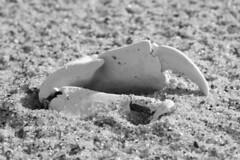 Earth Sculpture: Tap (brucetopher) Tags: black white blackandwhite bw blackwhite monochrome tone tones shell crab fossil exoskeleton nature naturesart foundart found art sculpture wilderness desert sand beach
