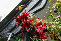 beauties in clovelly (Maluni) Tags: england inghilterra uk greatbritain clovelly devon flowers fiori natura nature rain