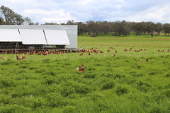 escapee Free range chickens Yandoit Victoria Australia_8492 (gervo1865_2 - LJ Gervasoni) Tags: free range chickens yandoit victoria australia farming agriculture eggs food production maremma alpaca