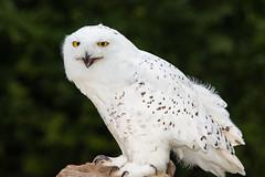Snowy Owl Scream (jeff_a_goldberg) Tags: owl nature outofchicago wisconsin snowyowl milwaukee raptor schlitzaudubonnaturecenter fall bayside unitedstates us