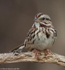 Posing song sparrow (v4vodka) Tags: bird birding birdwatching nature animal wildlife longisland newyork songsparrow sparrow passerine wrobel wrobelek pasowkaspiewna melospizamelodia songbird 2013poczatek2013
