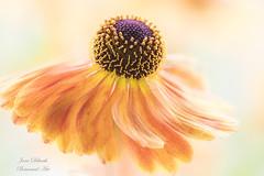 Autumn twirl.... (Jane Dibnah Botanical Art) Tags: heleniummardigras amber orange flower floralart flowers creativephotography macro selectivefocus