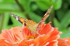 Oranges (Patricia Henschen) Tags: zinnia asteraceae butterfly paintedlady denverbotanicgardens denvercolorado denver colorado botanic garden flowers nature catchycolors orange