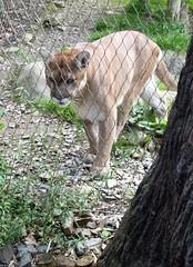 Cougar_61811
