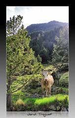 Mirada indiscreta (Jordi TROGUET (Thanks for 1.862.797+views)) Tags: leica naturaleza verde nature natura pi montaa jordi pino soe andorra muntanya vaca x1 verd pirineo pirineu jtr canillo ransol troguet jorditroguet leicax1 flickrtravelaward leicacameraagleicax1 vacascowvache