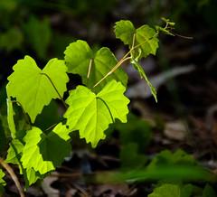 Simplicity and Light Wild Mustang Grape (Kat~Morgan) Tags: green leaf vine mustang grape