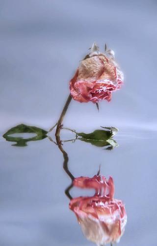 Drowned rose