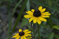 Rudbeckia hirta (Black-eyed Susan) -- Asteraceae (Michael Huft) Tags: rudbeckia asteraceae indianadunes blackeyedsusan rudbeckiahirta