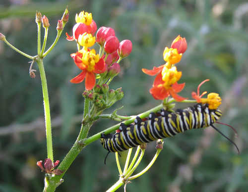monarch caterpillars 2011