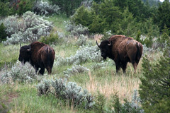 Bison (a.dombrowski) Tags: bison
