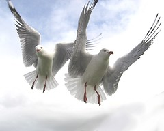 Sky Dancers (Mary Faith.) Tags: sea sky seagulls macro bird nature dance wings play gull flight feathers nz tauranga skydancer mountmaunganui bestcapturesaoi elitegalleryaoi mygearandme ringexcellence blinkagain dblringexcellence tplringexcellence blinkagainfrontpage bestofblinkwinners artistoftheyearlevel3 artistoftheyearlevel4