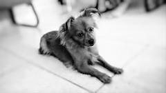 Aysha sendo Aysha (Bianca B Nascimento) Tags: dog pet cachorro chiuaua
