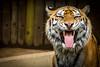 DSC01482.jpg (ChrMous) Tags: animals zoo tiger ngc antwerp tijger bengal autofocus bengaltiger bengaalsetijger thebestshot bengaalse sony70400g zooofantwerp sonya65