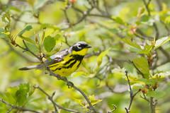 _53F2087 Magnolia Warbler (~ Michaela Sagatova ~) Tags: male dundas birdphotography magnoliawarbler dendroicamagnolia dvca michaelasagatova spring2014