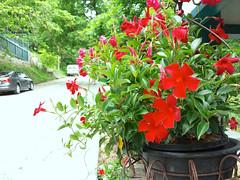 Mandevilla cultivar (Eric Hunt.) Tags: red flower vine apocynaceae mandevilla