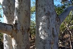 Northern Scribbly Gum (dustaway) Tags: nature australia bark nsw scribbles treebark eucalyptus trunks northcoast myrtaceae australianflora broadwaternationalpark australiantrees eucalyptussignata northernscribblygum nationalparksandnaturereserves northcoastbotanicalsubdivision