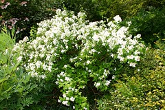 Philadelphus 'Manteau d'Hermine' (tiger289 (The d'Arcy dog supporters club)) Tags: flowers trees plants fish plant flower tree nature grass leaves birds garden restaurant leaf petals spring pond squirrels branch colours perfume westsussex blossom outdoor wildlife branches bees lawn roots insects foliage soil bark carp redwoods rabbits blooms deciduous ponds shrubs naturalworld hardwood cherrytrees lawns fruittree manorhouse saplings chalkpit beechtrees philadelphus flowerbeds redbark avenueoftrees judastree highdowngardens floralwalk philadelphusmanteaudhermine acidbeds highdownmanor