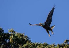 1407_1DMKII0702_00102-Edit (Peter Bangayan) Tags: birds canon wildlife tamron eagles raptors natures sewardpark 1dmk2 tamronsp150600mmf563divcusd