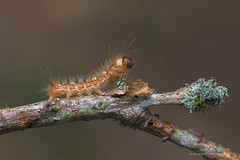 Moma alpium (PITUSA 2) Tags: animara artrpodos inserta lepidpteros noctuidae moma alpium oruga eiruga bolboreta mariposa nocturna naturaleza fotografa macro 6d canon elsabustomagdalena pitusa2 conspeitos laguna lugo galicia