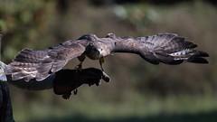 Let's go ! (carlo612001) Tags: buzzard poiana falconeria falconry birds animals wings raptors birdsofprey ali oasidisantalessio