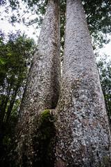 Waiau Grove Walk Kauri Trees-3