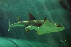 RAYS/SHARKS & SAWFISH (NTG's pictures) Tags: sharks rays greynurseshark sicklefinlemonshark bluespottedmaskray fantailrays freshwatersawfish whitespottedeagleray sharkray bowmouthshark mud skate greyreefshark sea life sydney aquarium