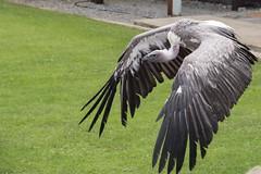 I used to be in the Jungle Book (Evoljo) Tags: ailweebirdsofprey countyclare ireland theburren birds nature feathers flight nikon d500