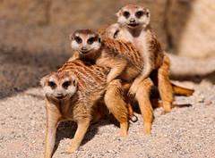 [フリー画像] 動物, 哺乳類, ミーアキャット, 201106221100