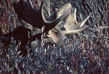 Moose eyes