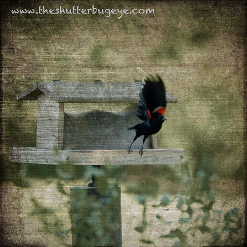 Red winged blackbird by The Shutterbug Eye™