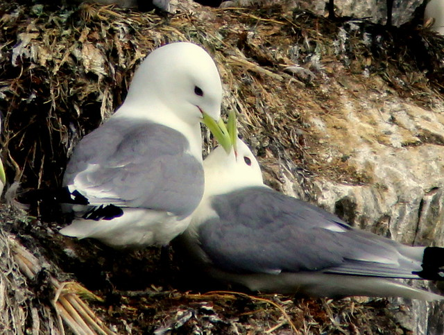 Black-legged Kittiwakes 2-20110622