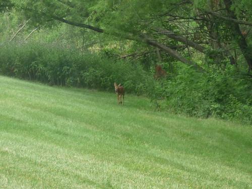 baby deer 005