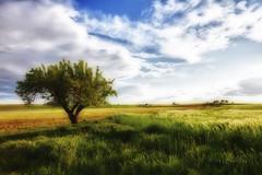 Arbol solitario (45º y 46º EXPLORE - 28 y 29-06-2011) (Jose Casielles) Tags: color luz arbol cielo nubes campos trigo yecla sembrado fotografíasjcasielles