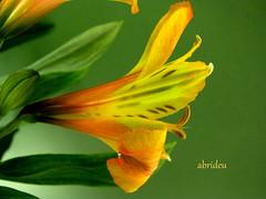 Alstroemeria (abrideu away on Holiday) Tags: flowers macro canon ngc npc alstroemeria topshots excellentsflowers natureselegantshots abrideu fleursetpaysages flickrsportal