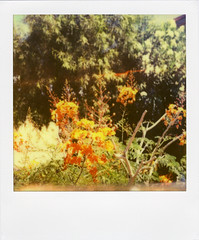 (Nick Leonard) Tags: vegas flowers summer orange plant green film nature floral analog polaroid sx70 lasvegas nevada nick manualfocus instantfilm epson4490 firstflush colorshade nickleonard polaroidsx70model2 theimpossibleproject ndpackfilter px680 px680ff