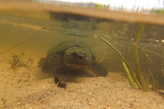 Underwater Snapping Turtle at Kettle Hole Pond - Cape Cod (Chris Seufert) Tags: underwater snapping turtle capecod massachusetts cnn bostonist nationalseashore ireport wbur