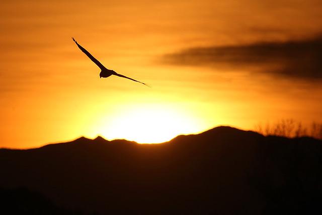 Hawk in the Setting Sun