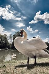 You Looking At Me? (Sean Batten) Tags: uk lake clouds swan bluesky surrey painshillpark