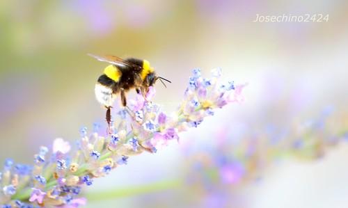 Banquete del abejorro.