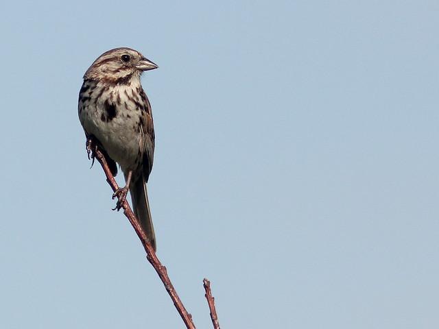 Song Sparrow 20110706