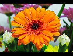 African Daisy,Gerbera (Vijay_ktyely) Tags: orange flower macro gerbera africandaisy waterdroplets orangegerbera