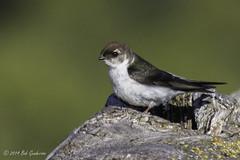 Violet-green Swallow -  Juvenile or Female (Bob Gunderson) Tags: california birds northerncalifornia southbay swallows santaclaracounty ranchosanantonio violetgreenswallow tachycinetathalassina