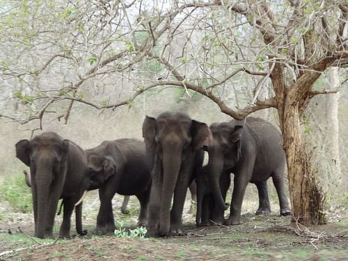Elephants in Bandipur national park by Dave Lonsdale, on Flickr