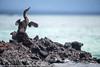 Phalacrocorax harrisi - Cormoran aptère - Flightless Cormorant - 2014 Galapagos 01.jpg