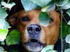 Fiero Fierce (Raul Jaso) Tags: dog pet pets dogs animal animals cane mexicocity df fierce perro angry fiero perros animales dogface mascota mascotas ciudaddemexico mexicodf cani streeter enojado dogtooth hocico discapacitado perrocallejero colmillos quiltro colmillo caradeperro perromestizo perroguardian