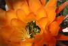 This Pollen Is Delicious! (Chic Bee) Tags: arizona cactus insect tucson pollen sonorandesert pollination southwesternusa insectidentification orangetorchcactus sexualreproductioninfloweringplants