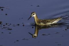 Wilson's Phalarope - Male - Breeding (Bob Gunderson) Tags: california birds northerncalifornia sierras phalarope shorebirds plumascounty wilsonsphalarope phalaropustricolor marblehotspringsroad